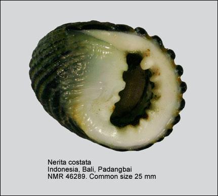 Nerita costata