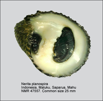 Nerita planospira