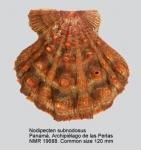 Nodipecten subnodosus