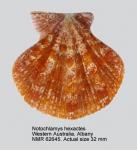 Notochlamys hexactes