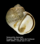 Notocochlis chemnitzii