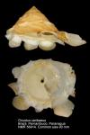 Xenophoridae