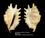 Ophioglossolambis violacea