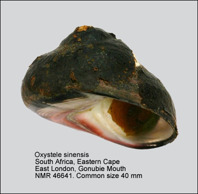 Oxystele sinensis