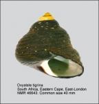 Oxystele tigrina