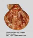 Palliolum tigerinum