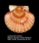 Paraleptopecten palmeri