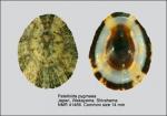 Patelloida pygmaea