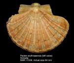 Pecten erythraeensis
