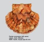 Pecten excavatus