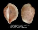 Pedicularia californica