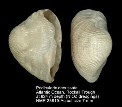 Pedicularia decussata