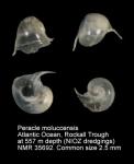 Peraclidae