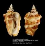 Persististrombus granulatus