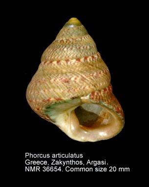 Phorcus articulatus