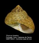 Phorcus lineatus