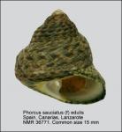 Phorcus sauciatus