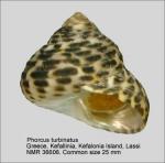 Phorcus turbinatus