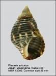 Planaxis sulcatus