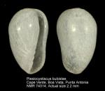 Plesiocystiscus bubistae