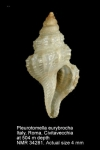 Pleurotomella eurybrocha