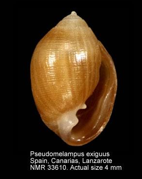 Pseudomelampus exiguus