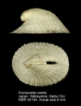 Puncturella nobilis