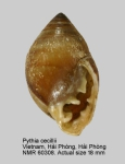 Pythia cecillei