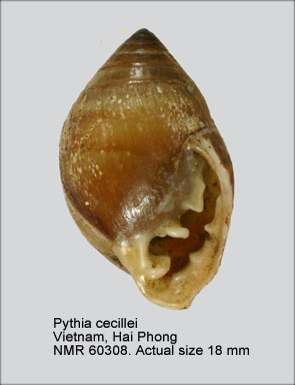 Pythia cecillei