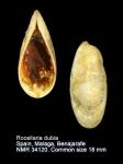 Rocellaria dubia