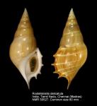 Rostellariella delicatula