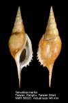 Rostellariidae