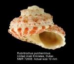 Rubritrochus pulcherrimus