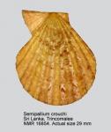 Semipallium crouchi