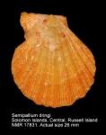 Semipallium dringi