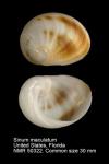 Sinum maculatum