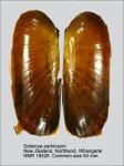 Solemya parkinsonii