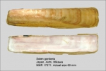 Solenidae