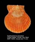 Spathochlamys benedicti