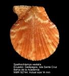 Spathochlamys vestalis