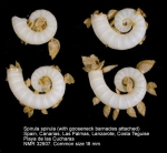 Spirulidae