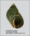 Supplanaxis nucleus