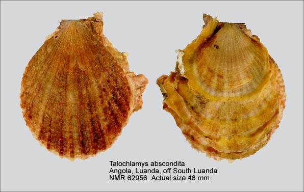 Talochlamys abscondita
