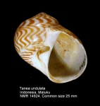 Tanea undulata
