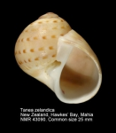 Tanea zelandica