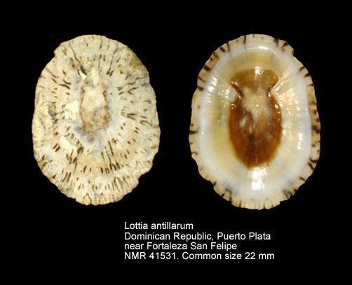 Lottia antillarum