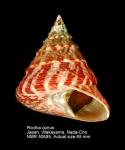 Tectus conus