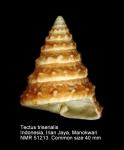 Tectus triserialis