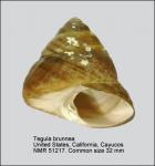 Tegula brunnea