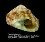 Tegula felipensis